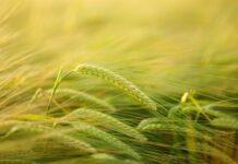 zielony jęczmień gorvita